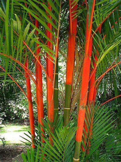 Lipstick palms